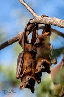 Little Red Flying Foxes at Lawn Hill