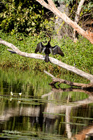 Australasian Darter at Cumberland Gold Mine