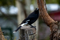 Pied Currawong at Herberton