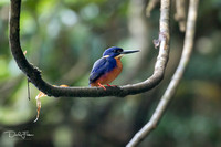 Azure Kingfisher on the Daintree River