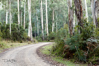 Mountain Ash Trees on the Road to Trappers Gap