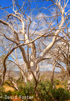 Snow Gums, Bogong High Plains